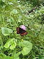 Butterfly on flower at Fallbach 3.jpeg