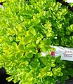 Buxus Sempervirens 'Suffruticosa' plants growing in New Jersey in April.jpg