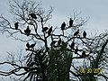 Buzzards on top of Ancon Hill - panoramio.jpg