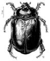 COLE Scarabaeidae Pericoptus truncatus.png