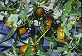 CSIRO ScienceImage 1535 Christmas beetles.jpg