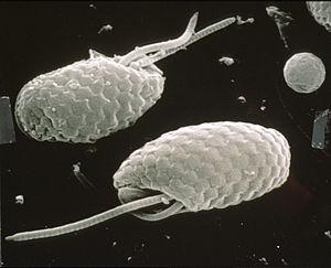 Cryptomonad - Cryptophytes under SEM