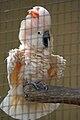 Cacatua moluccensis -Kuala Lumpur Bird Park -aviary-8a.jpg