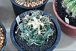 Cactaceae-Cactus in Thailand by Trisorn Triboon 8.JPG