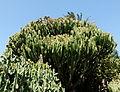 Cactus géant.JPG
