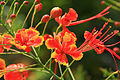 Caesalpinia pulcherrima flowers.jpg