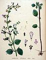Calamintha officinalis — Flora Batava — Volume v20.jpg