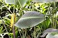 Calathea crotalifera 24zz.jpg