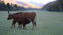 Fail:Calf suckling at a meadow near Vrachesh, Bulgaria.webm