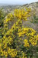 Calicotome villosa kz21.jpg