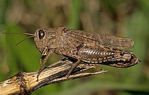 Italienische Schönschrecke (Calliptamus italicus), ♀