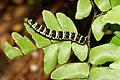 Callopistria-Kadavoor-2016-07-31-002.jpg