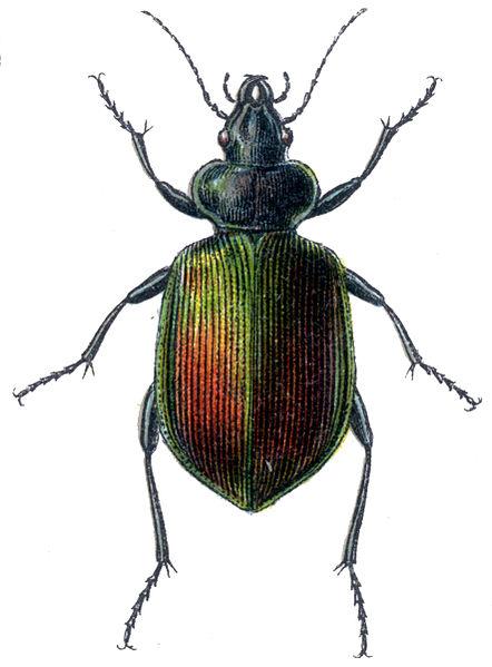 File:Calosoma sycophanta 2.jpg