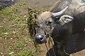 Cambodia. Water buffaloes. img 03.jpg
