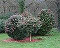 Camellia Woodland - geograph.org.uk - 348346.jpg