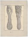 Camelus dromedarius - tong - 1700-1880 - Print - Iconographia Zoologica - Special Collections University of Amsterdam - UBA01 IZ21600013.tif