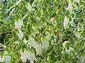 Campanula alliariifolia1.jpg