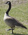 Canada Goose NJ.jpg
