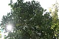 Canella winterana 10zz.jpg