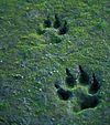 Canis lupus (gray wolf) tracks