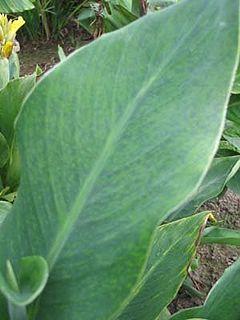 Bean yellow mosaic virus species of virus