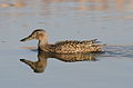 Cape Shoveler, Anas smithii at Marievale Nature Reserve, Gauteng, South Africa (9700129807).jpg