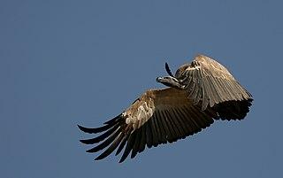 Cape vulture Species of bird