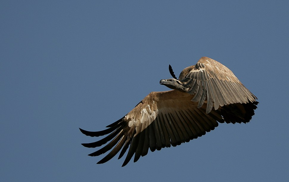 Cape Vulture-001