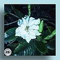 Cape jasmine.jpg