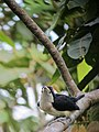 Capito hypoleucus Torito dorsiblanco White-mantled Barbet (6397525007).jpg