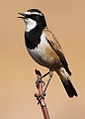 Capped Wheatear, Oenanthe pileata at Suikerbosrand Nature Reserve, Gauteng, South Africa.jpg