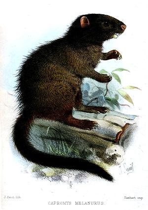 Black-tailed hutia - Image: Capromys Melanurus Smit