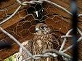 Captive Kestrel 07.jpg