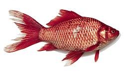 Carassius wild golden fish 2013 G1 (2)