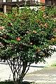 Carbonero rojo (Calliandra hematocephala) (14600778913).jpg