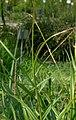 Carex pendula inflorescens (61).jpg