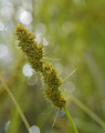 Carex stipata-var-stipata 9175278337 o (2).png