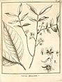 Cassia apoucouita Aublet 1775 pl 146.jpg