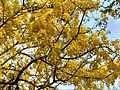 Cassia fistula in full bloom in Anaimalai Tiger Reserve2.jpg