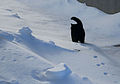 Cat walking on the snow-Zanastardust.jpg