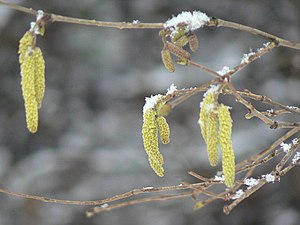 Catkins in Colwick Country Park A reminder tha...