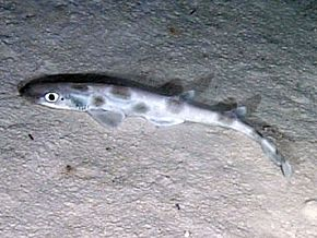 Description de l'image Catshark oedv2.jpg.