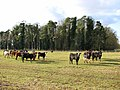 Cattle in pasture south of B Plantation - geograph.org.uk - 1733726.jpg