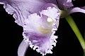 Cattleya trianae fma. concolor 'Akemi' Linden & Rchb.f., Wochenschr. Gärtnerei Pflanzenk. 3- 67 (1860) (40541228061).jpg