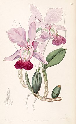 Cattleya walkeriana (as Cattleya bulbosa) - Edwards vol 33 (NS 10) pl 42 (1847)