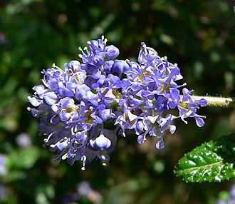 Ceanothus papillosus - Image: Ceanothus papillosus 3