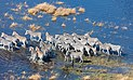 Cebras de Burchell (Equus quagga burchellii), vista aérea del delta del Okavango, Botsuana, 2018-08-01, DD 31.jpg