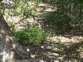 Cedar Key FL Shell Mound Park trail06.jpg