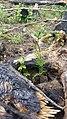 Cedar sapling on the Idaho Panhandle National Forest (40396548232).jpg