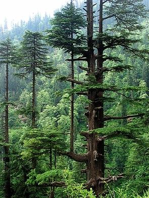 Himalaya-Zeder (Cedrus deodara) aus Himachal Pradesh, Indien